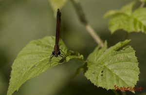 2014-07-07 Caloptéryx hémorroïdal femelle 6
