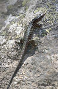 2012-07-31 33 Forêt d'Aitone Lézard de Bédriaga