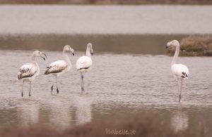2014-02-17 La Clape 16 flamand rose