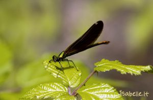 2014-07-02 Caloptéryx éclatant 2-