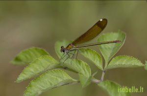2014-07-07 Caloptéryx hémorroïdal femelle 4
