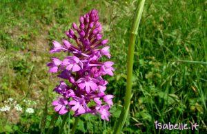 2015-05-17 Léognan 6 orchidée pyramidale